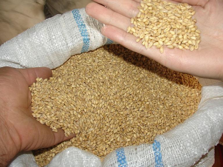 Armenian barley