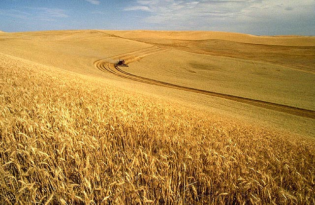 Wheat at harvest time