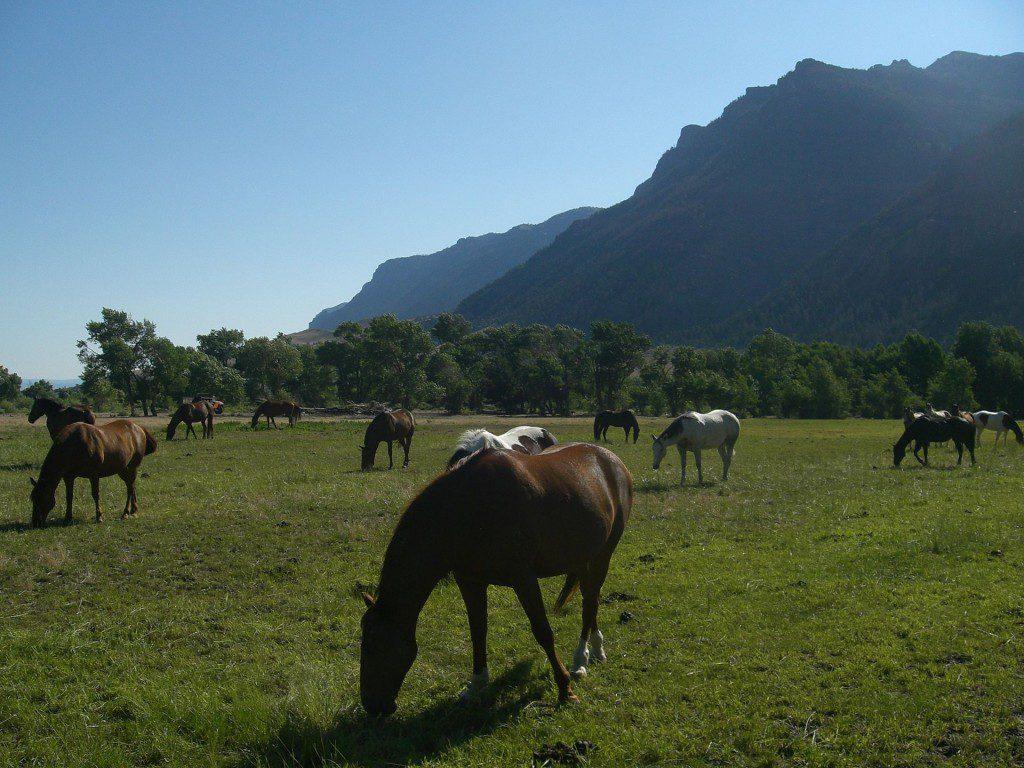 Cody WY horses