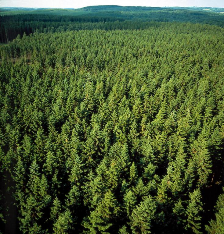 Swedish pine trees