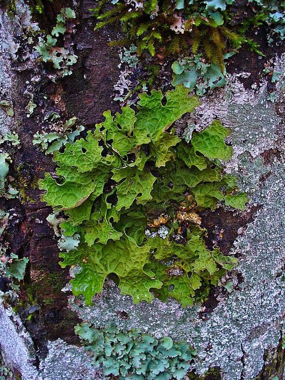 A form of lichen