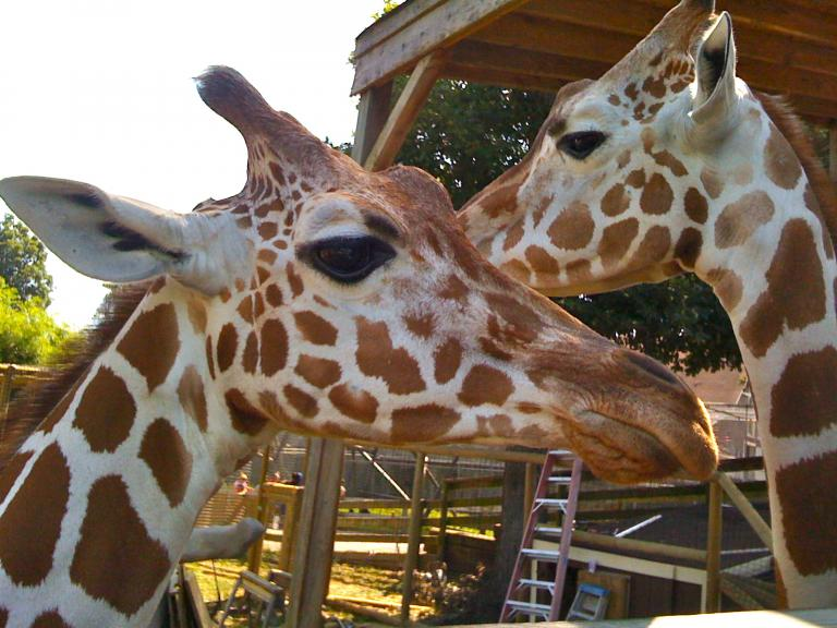 Two LDS-owned giraffes