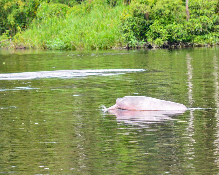 Pink Peruvian dolphin