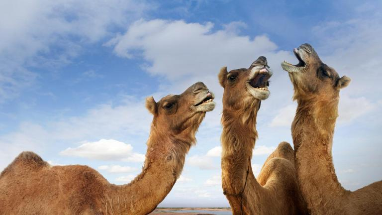 Braying camels can be cute