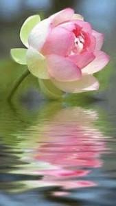 Lotusreflected