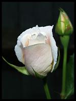 white_rose_bud_by_deadlydonna