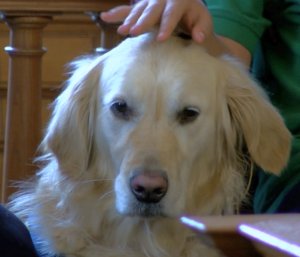 Anna the comfort dog, soothing a child witness in the Ciboro trial. Screen shot: WTOL