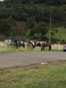 copeyhorses1
