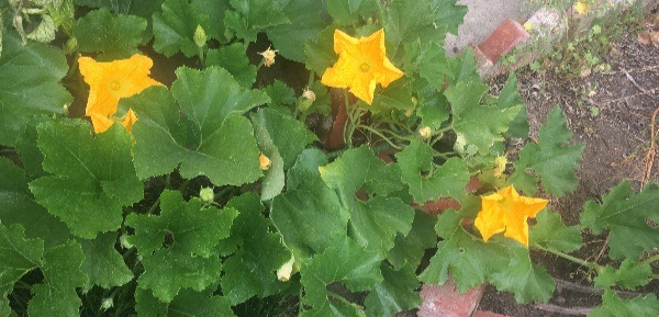My happiest pumpkin plant is still in bloom (with four pumpkins already growing on it).
