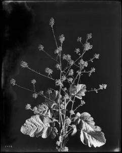 Close-up_of_a_specimen_of_black_mustard_(Brassica_nigra),_ca.1920_(CHS-5478)