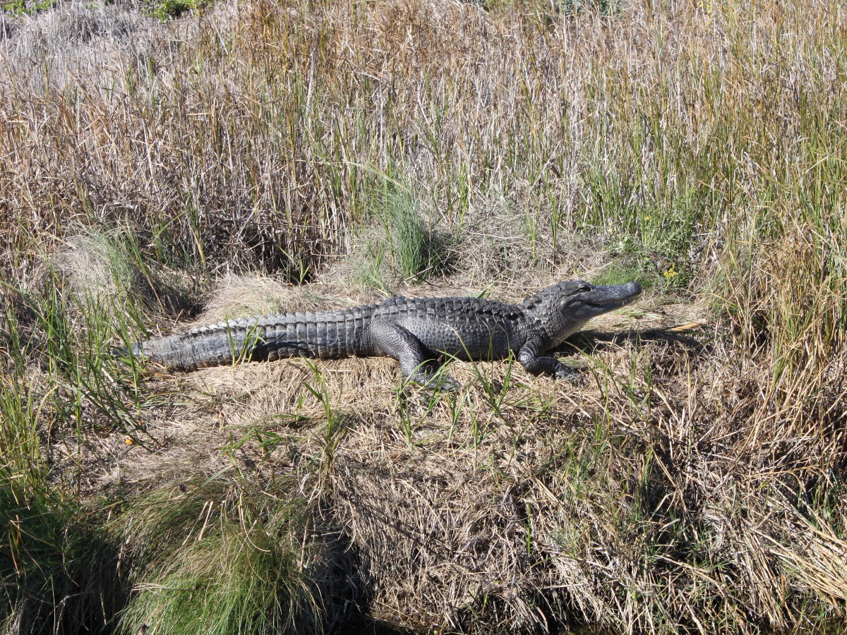 alligator on South Padre Island