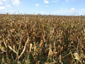 cornfield McKinney August 2014