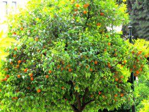 06 25a Orange Tree