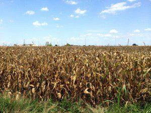 cornfield McKinney August 2014 b