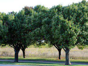 McKinney trees 11.07.15