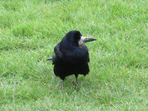 12 110 Stonehenge Raven