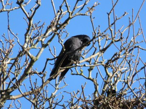 07 110 Kirkwall raven