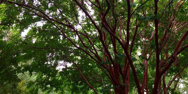 crepe myrtles and rain 07.25.16 01