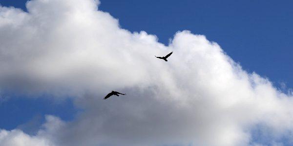 08 171 Kirkwall ravens 600x300