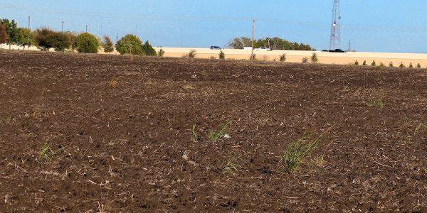 cornfield in late fall 2015