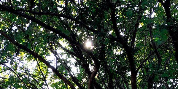 sun in trees 600x300