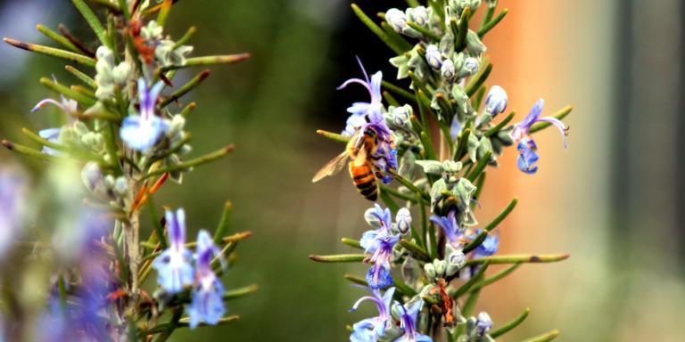 bee on rosemary bush 02.16.17 02