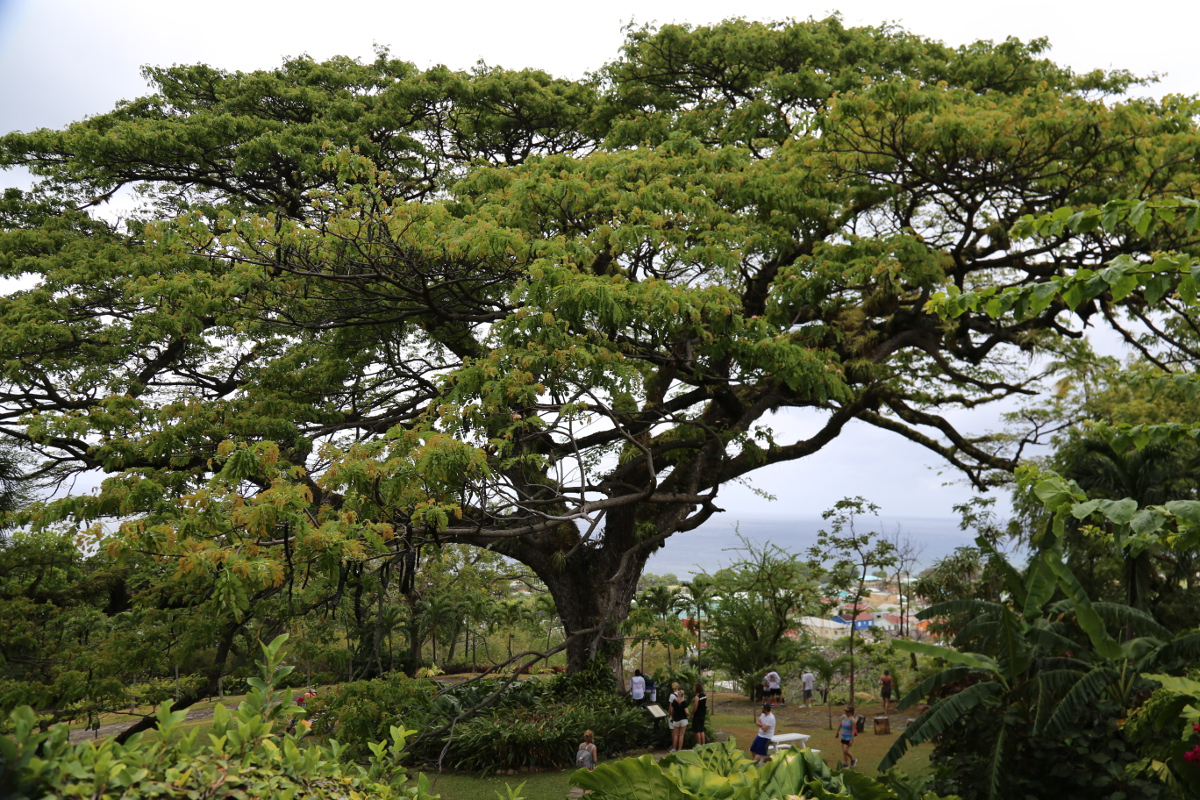 """""""The Tree"""" - Caribelle Manor - St. Kitts. 400 years old."""