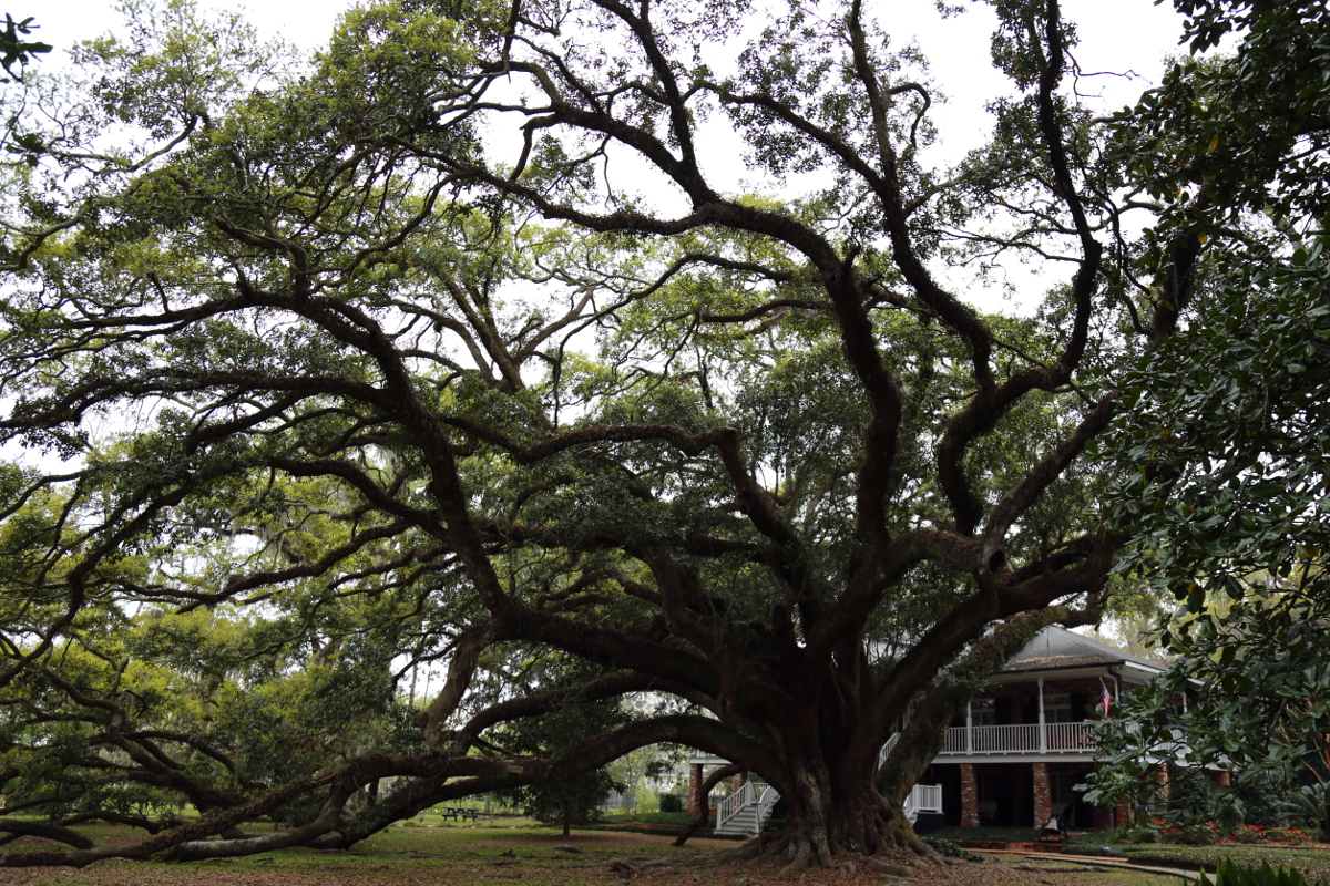 Seven Sisters Oak - Mandeville, Louisiana - 1500 years old. How many storms has she endured, and still she stands.