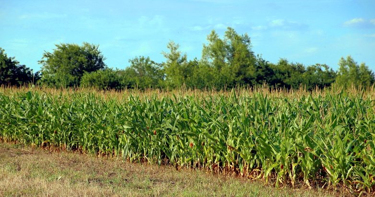 cornfield 06.08.17