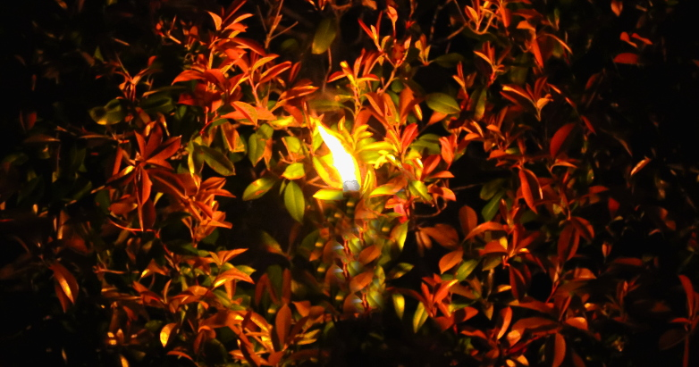 flame in hedge 03.13.16