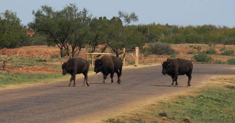 How are bison in the road are like Election Night?