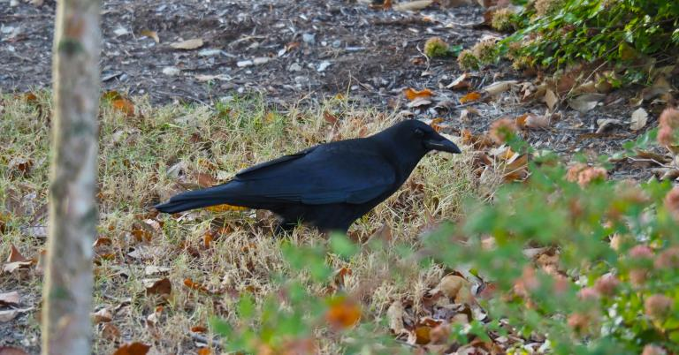 a crow in Nature