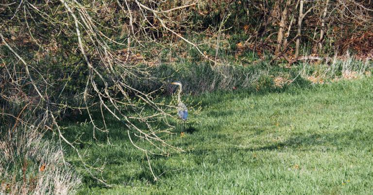 a blue heron in suburban North Texas