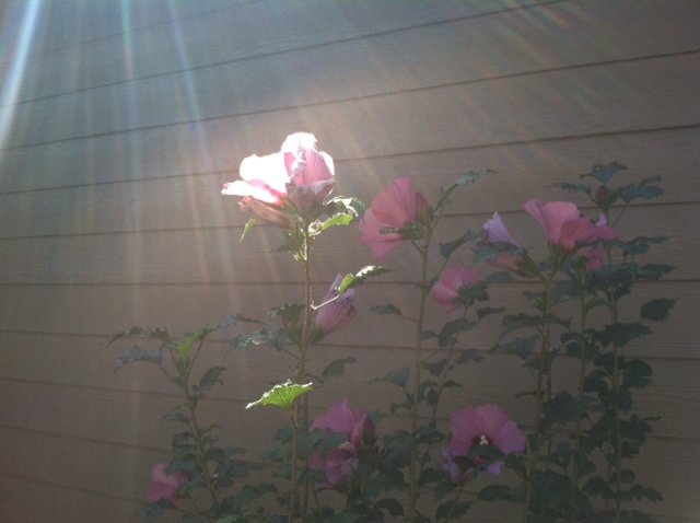 of roses and reiki