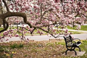 shutterstock_68022604 Magnolia
