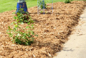 mulched