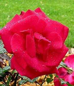 'Lasting Love' rose, in full bloom perfumes the back yard.