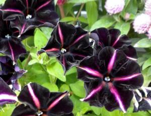 Velvet Petunias