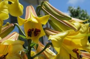 Golden Splendor Lily