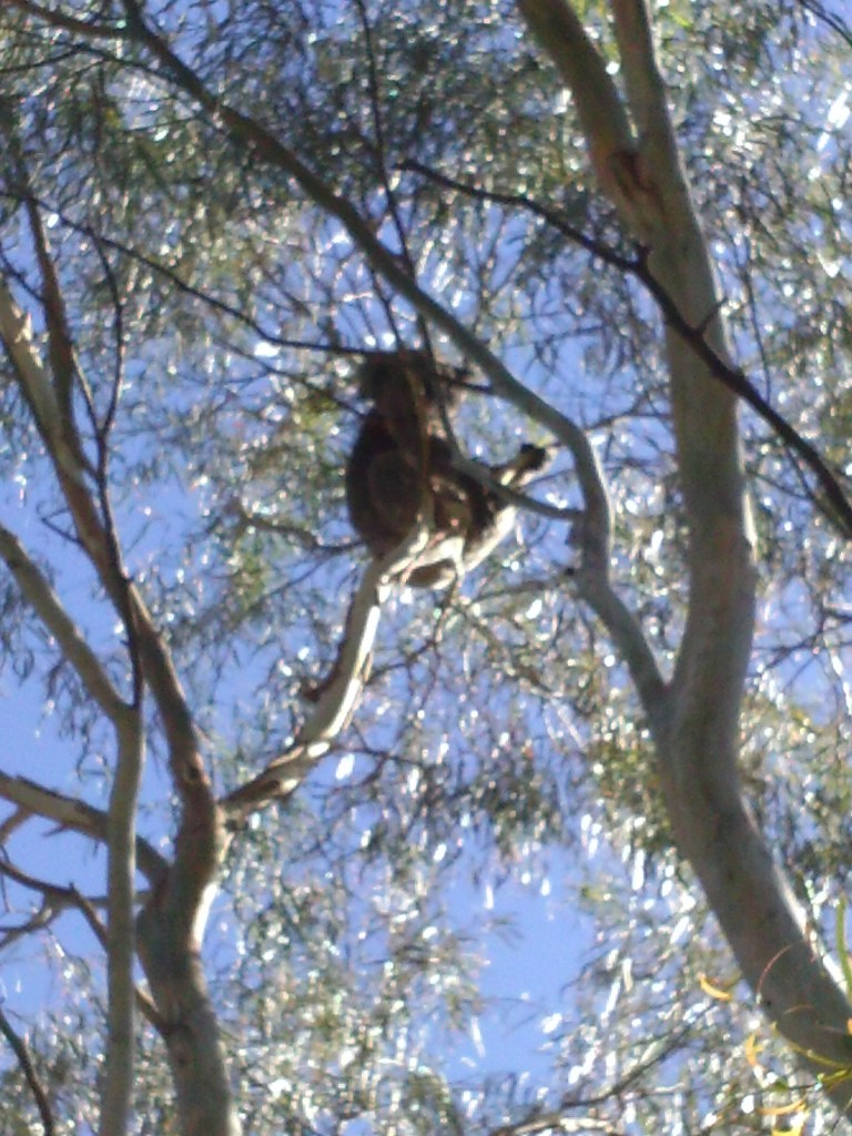 The Koala in the Hensley's tree