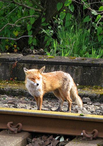 Fox at the rails