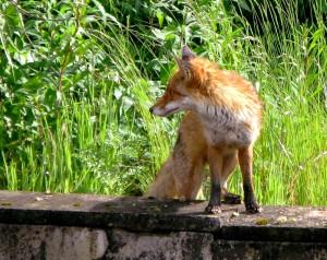 City Fox in Glasgow