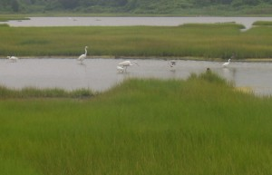 Salt Marshes and wildlife
