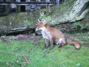 Fox in a park