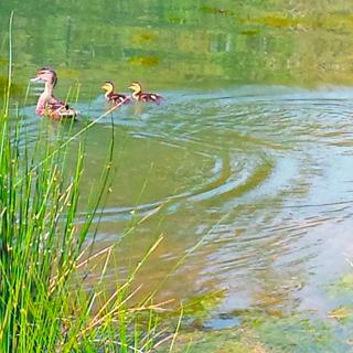 Mallard mama and ducklings