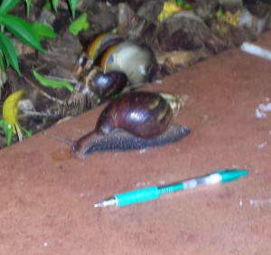 Two large snails with pen in foreground to show size