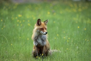 Fox sitting in a meadow