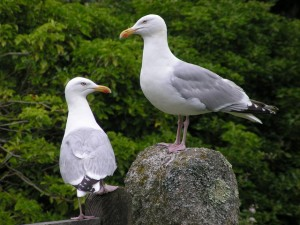 Hierarchy in the gull world Two gulls at Ingelwidden, Cadgwith. No prizes for guessing which one is boss!