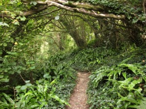 Coast path near Bindon Cliffs The path (Axmouth Footpath 2) spends most of its time along this coast in woodland which has grown up on the jumble of broken land. A mysterious touch is added here by the luxuriant growth of harts-tongue fern and ivy below hazel trees. Creative Commons Licence [Some Rights Reserved] © Copyright Derek Harper and licensed for reuse under this Creative Commons Licence.