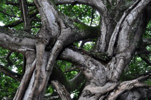 Intertwined branches of a large tree (Public domain image, CC0)